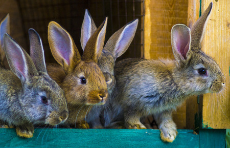 작은 토끼. 농장 감금소 또는 허치의 토끼. 번식 토끼 개념. 토끼 스톡 콘텐츠