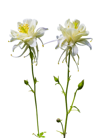 Akelei. Columbine Blume. Columbine-Blume Getrennt Auf Einem Weißen ...