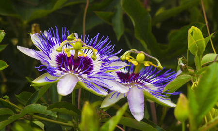 clematis: Passionflower. Passiflora (passionflower) with dew water drops . Stock Photo