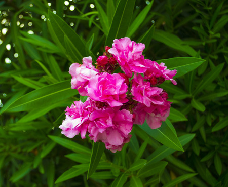 Closeup pink oleander. Nerium oleander blossoming on tree