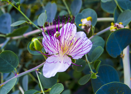 caper: The plant is best known for the edible flower buds (capers).  Beautiful details of a caper flower