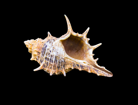 Seashell on a black background. sea shells of marine snail isolated