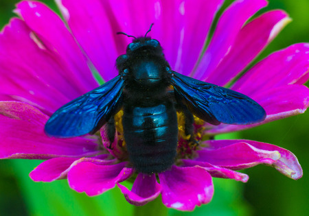 majors: Bumblebee carpenter violet. A bee on a flower Stock Photo