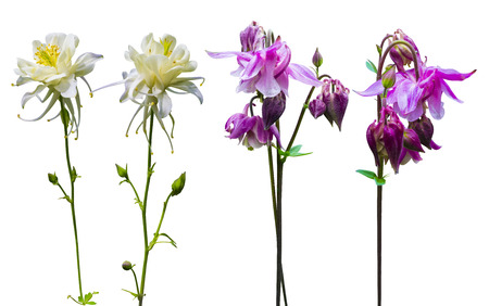 pink columbine: columbine flowers isolated on white background