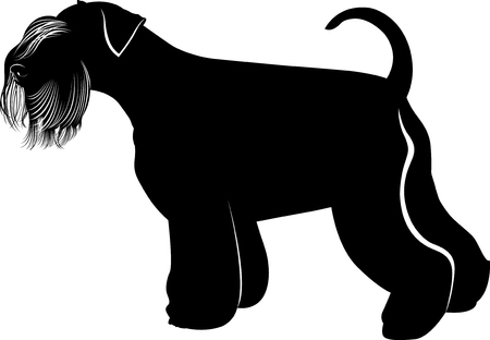 Miniature Schnauzer dog. Portrait of a young miniature schnauzer on lawn