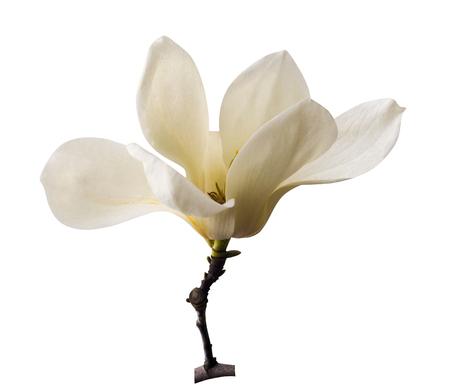 White magnolia. Creamy blossom of white magnolia tree. Magnolia flower in Botanic garden. decoration of few magnolia flowers