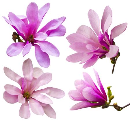 목련 꽃의 장식입니다. 핑크 목련 꽃 흰색 배경에 고립입니다. 목련. 목련 꽃