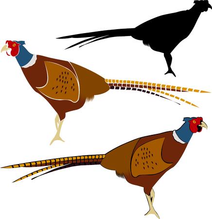 fazant. Geïsoleerd zijaanzicht van een kleurrijke gemeenschappelijke fazant. fazant geïsoleerd Stock Illustratie