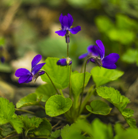 Flowers violets. Wood violets flowers close up. viola odorata. Violets in the wild Stock Photo - 89545916