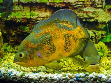Astronotus ocellatus. Oscar fish (Astronotus ocellatus) swimming underwater Stock Photo