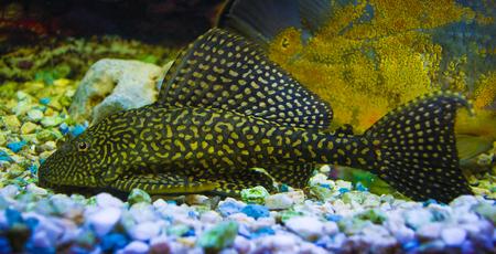 Sailfin Pleco.  Plecostumus fish.  Loricariidae