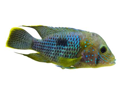 Electric Blue Acara Cichlid Fish. Nannacara Neon Blue