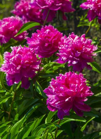 Peonies flowers peonies flowering bush of pink tree peony stock flowers peonies flowering bush of pink tree peony stock photo 92213977 mightylinksfo