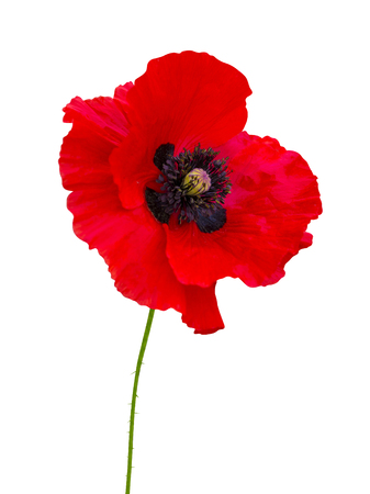 poppy. red poppy isolated on white background.red poppy.