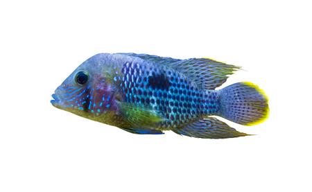 Acara Cichlid Fish. Nannacara Neon Blue