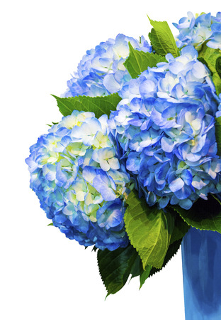 hydrangea flowers isolated on white background