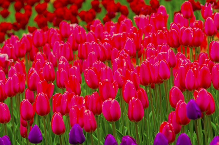 field of pink tulips Stock Photo