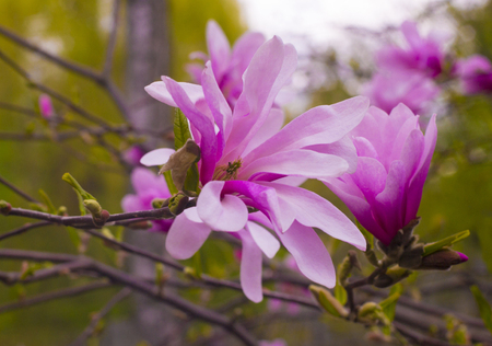 Blooming pink Magnolia flower in a park
