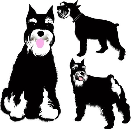 Establecer perros schnauzer miniatura