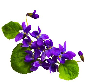 bouquet of violets isolated on white background Stock Photo