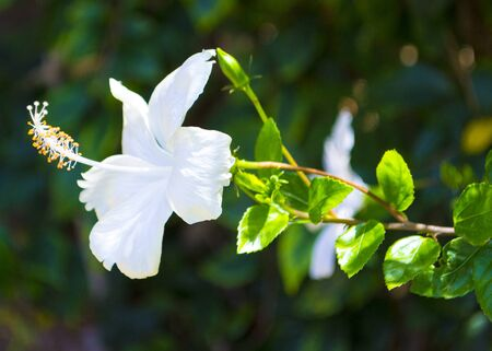 white hibiscus flower on a green background Zdjęcie Seryjne