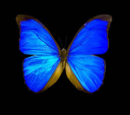 Blue morpho butterfly isolated on a black background