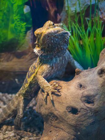lizard bearded agama large plan