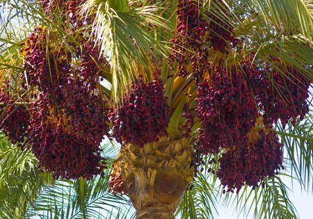 date palm with dates close up