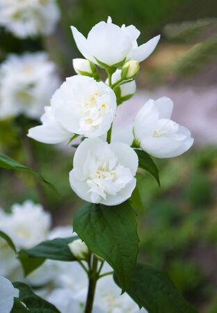 jasmine flowers in the garden
