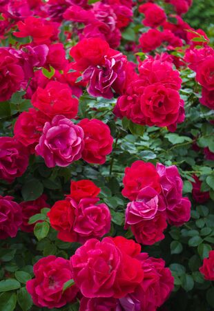 background of red roses flowers