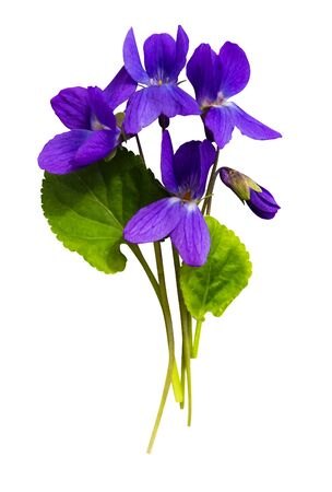 bouquet of violets isolated on white background Zdjęcie Seryjne