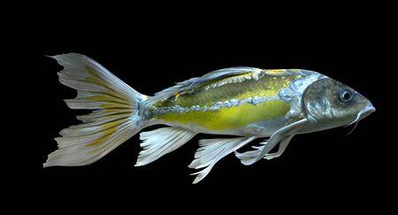 goldfish carp isolated on black background