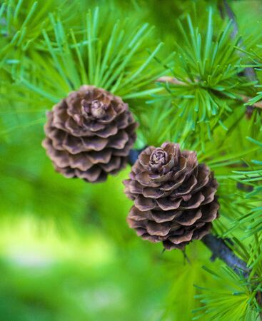 spruce branch with cones close-up