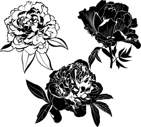 set of peonies flowers isolated on white background