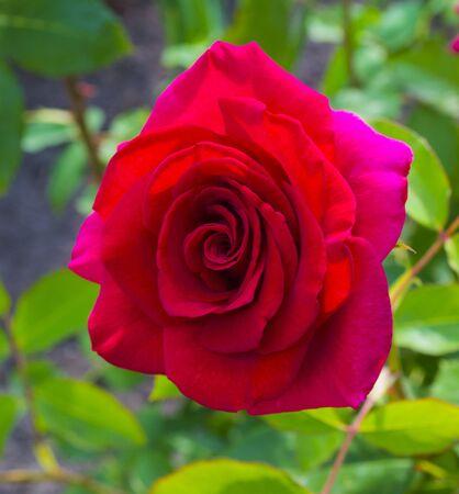 red rose flower close up