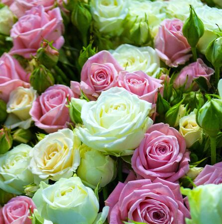 floral background of roses.  festive background of white and pink roses