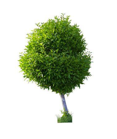 boxwood bush isolated on a white background