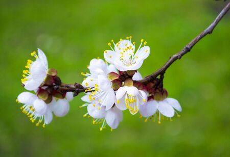 flowering sprig of cherry on a green background