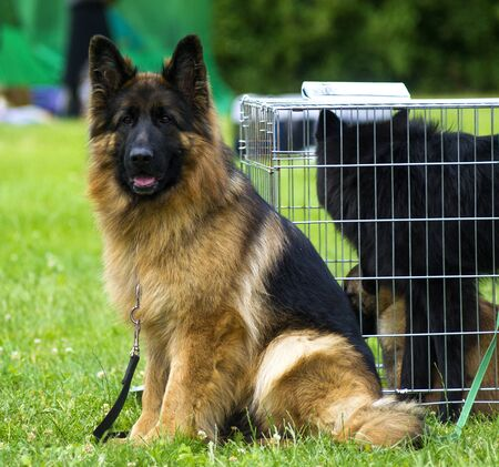 Shepherd dog at the show