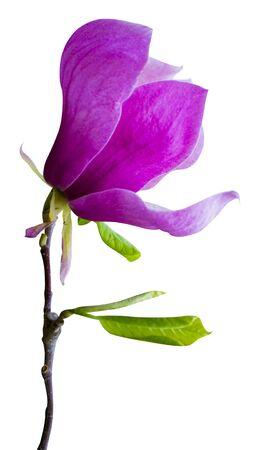 magnolia flower isolated on white background Zdjęcie Seryjne