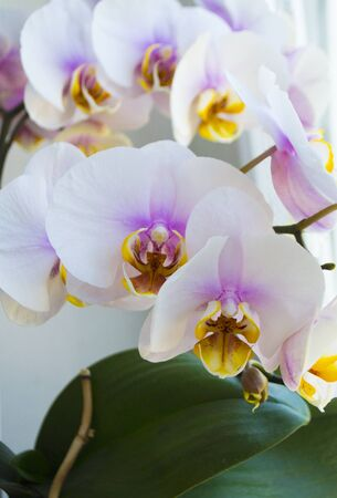 floral background, white orchid flowers