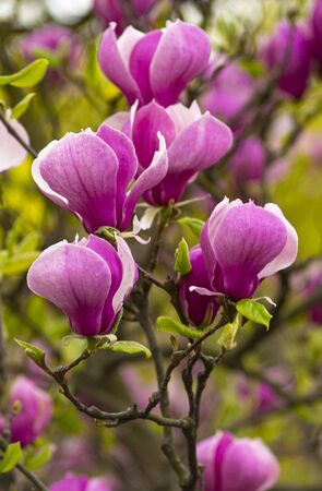 blooming tree - beautiful blossomed magnolia branch in spring - magnolia flower