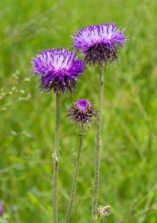 Flowering creeping thistle. Milk Thistle plant herbal remedy