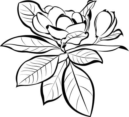 Vector Magnolia floral botanical flowers. Black and white with linear art on a white background.