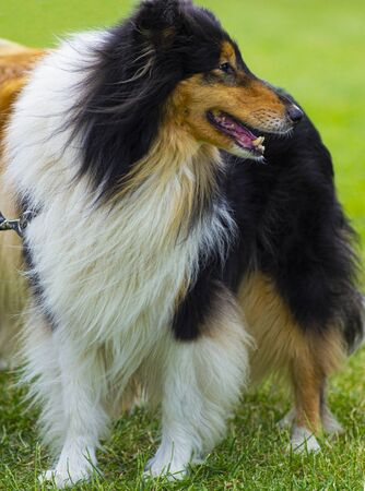portrait of collie dog. sheepdog portrait Archivio Fotografico