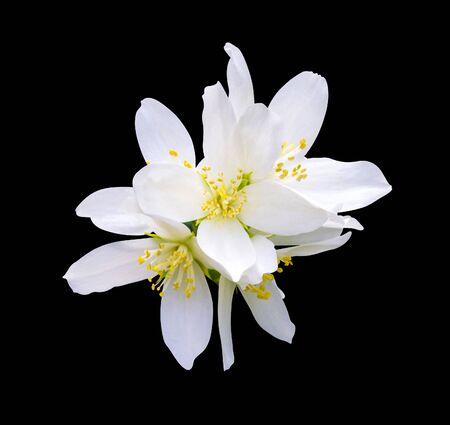 Jasmine flowers. jasmine spring flowers. branch of jasmine flowers isolated on a black background