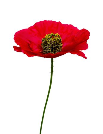 flower red poppy isolated on white background Stock Photo