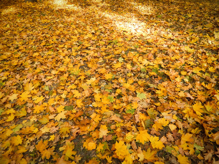 Autumn background of yellow leaves. fallen leaves