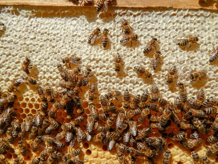 bee on honeycombs with honey slices nectar into cells. Imagens - 135210272