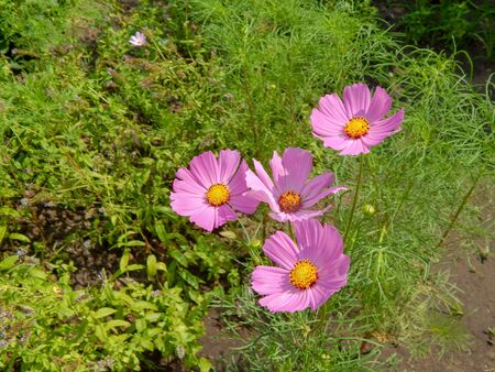 meadow covered in cosmos, a wildflower that covers the south african landscape in summer.